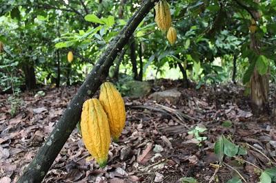 Cocoa Plantation Showing Cocoa Pods